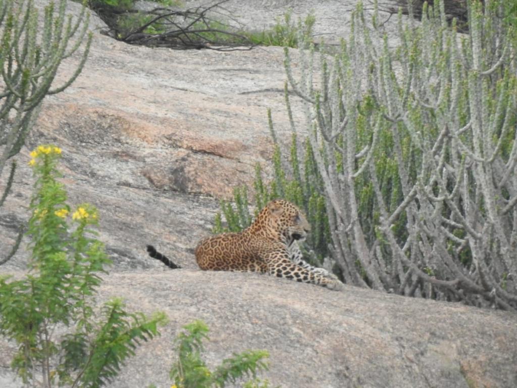 Leopard Safari in Jawai